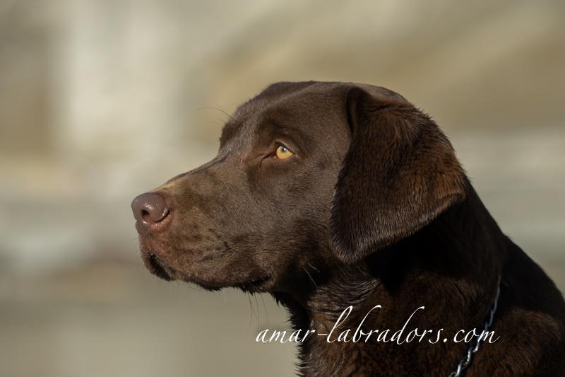 Chocolate Labrador Rüde Bootz