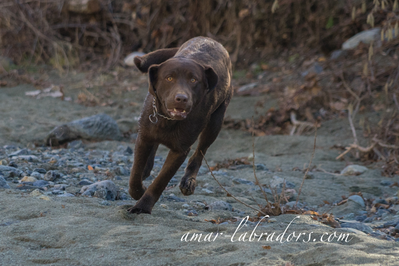 Brauner Labrador Rüde Bootz