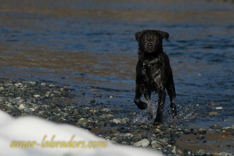 Charcoal Labrador Deckrüde Steel