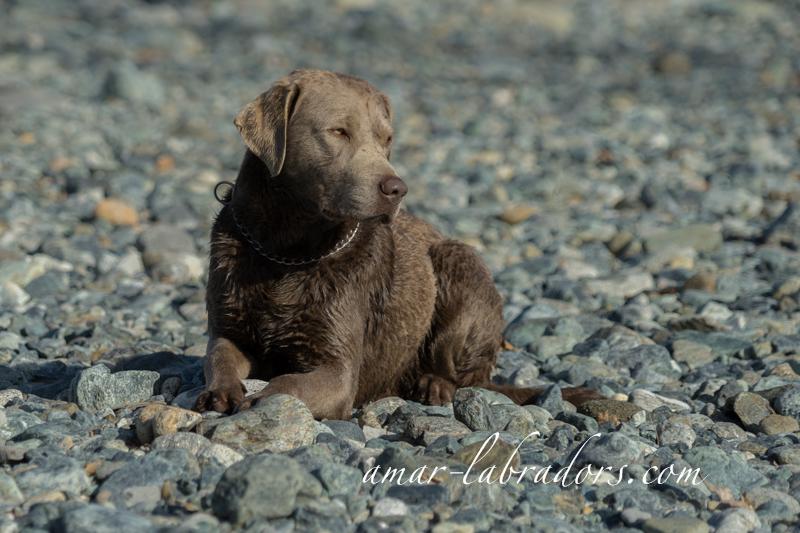 Silver Labrador Deckrüde Yaquim