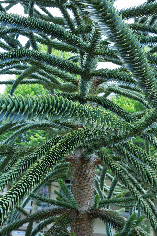 'Tropic Tree'