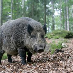 Wild-Boar-1.jpg