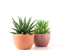 Succulents or cactus small plant in pot