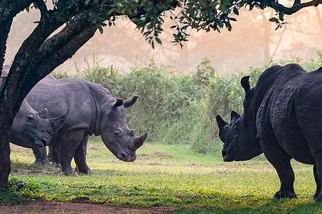 three_white_rhinos.jpg