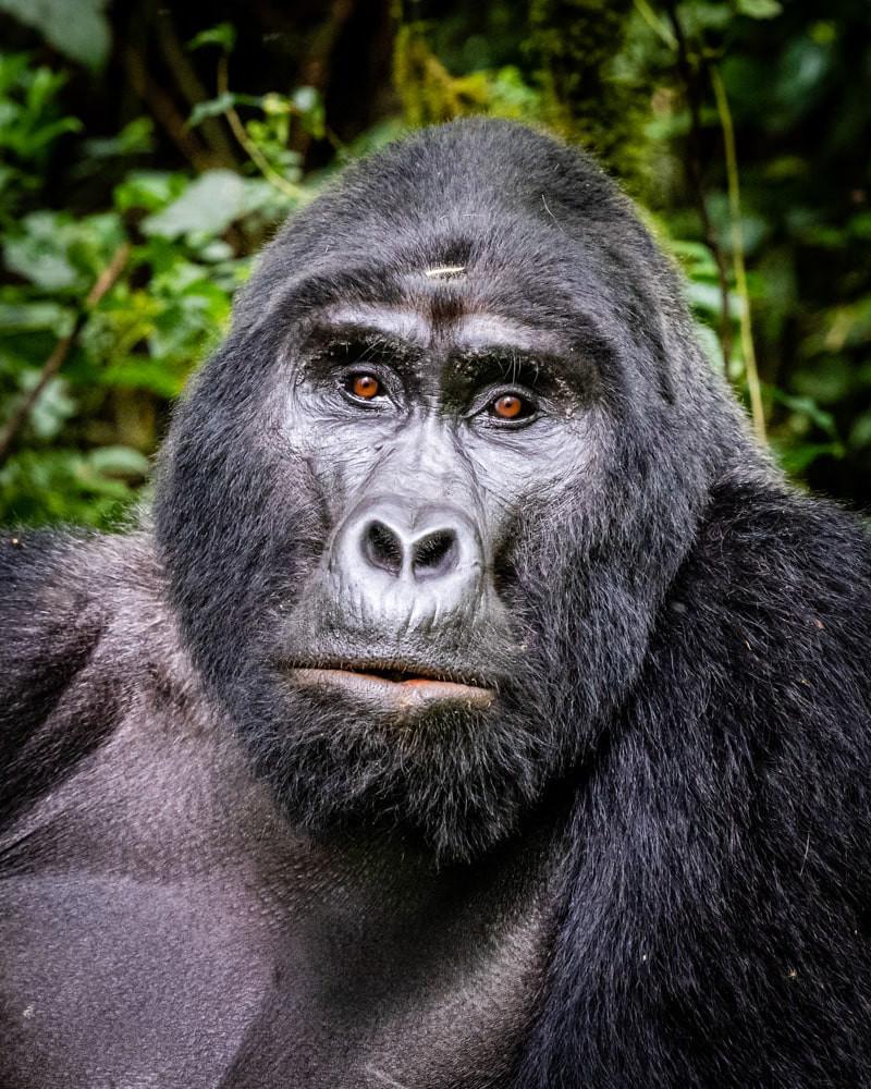 silverback_gorilla_2.jpg
