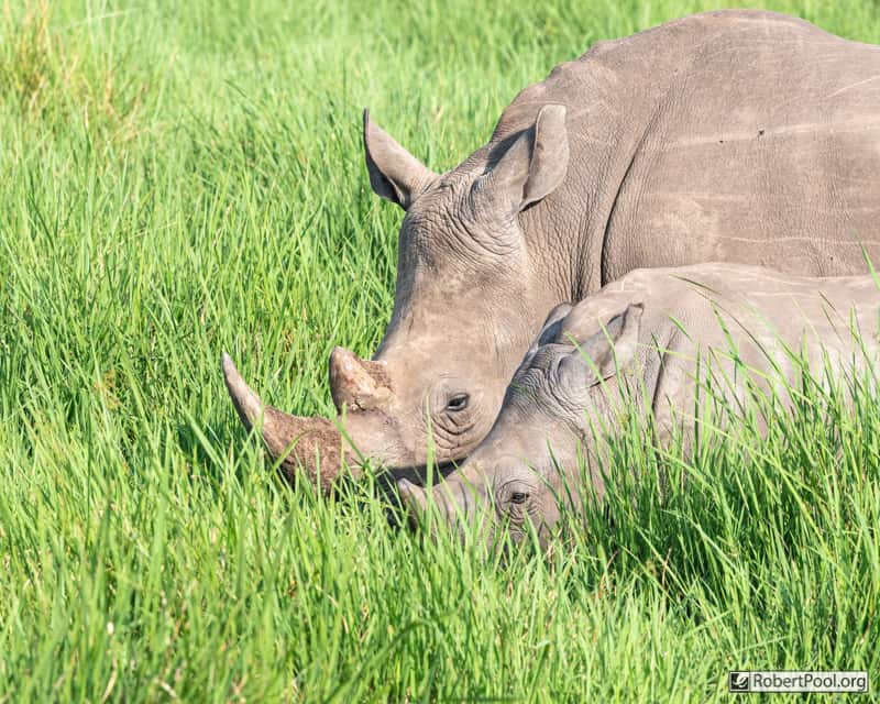 Mother and infant rhinos in the tall grass of the swamp