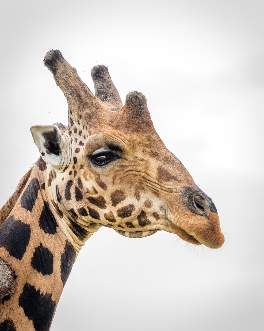 giraffe old2.jpg
