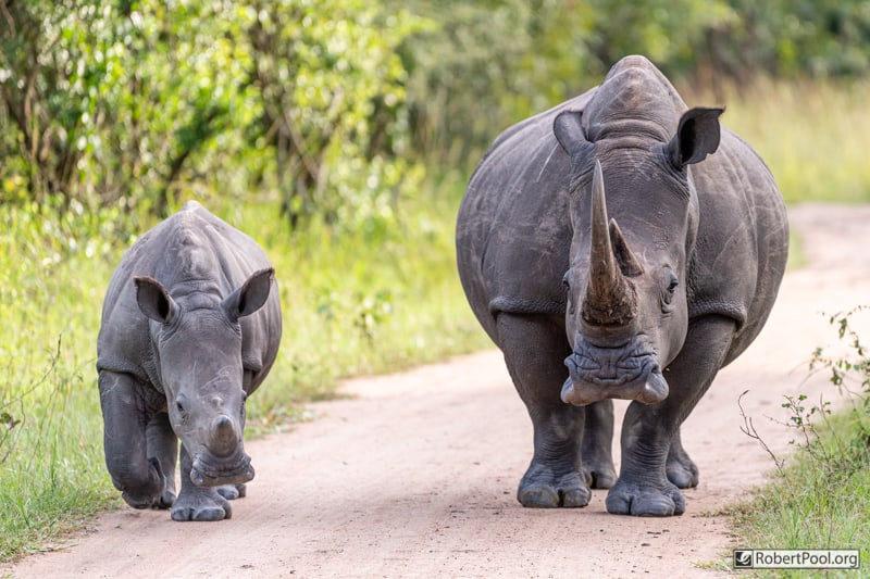 Mother and calf rhinos, strolling down the road