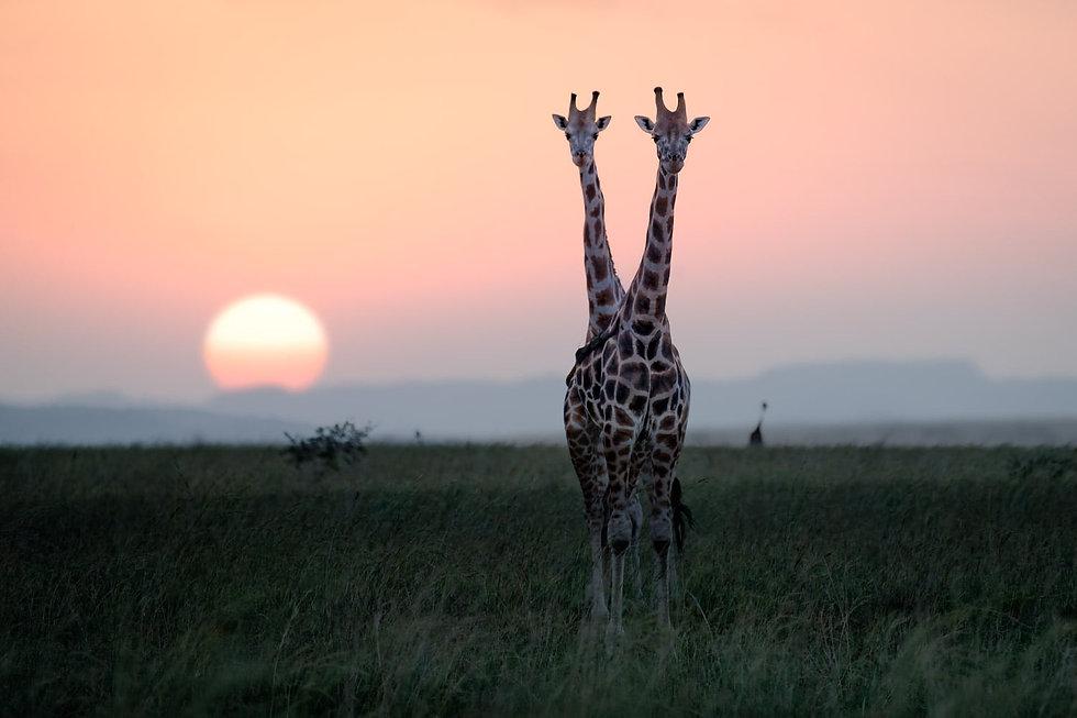 two_giraffes_at_sunset.jpg