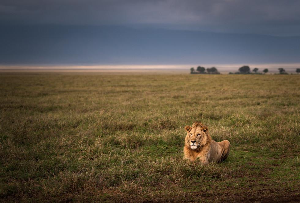 lion_resting.jpg