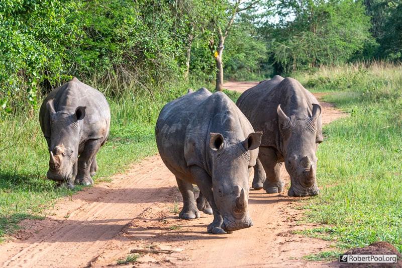 Three rhinos blocking the road