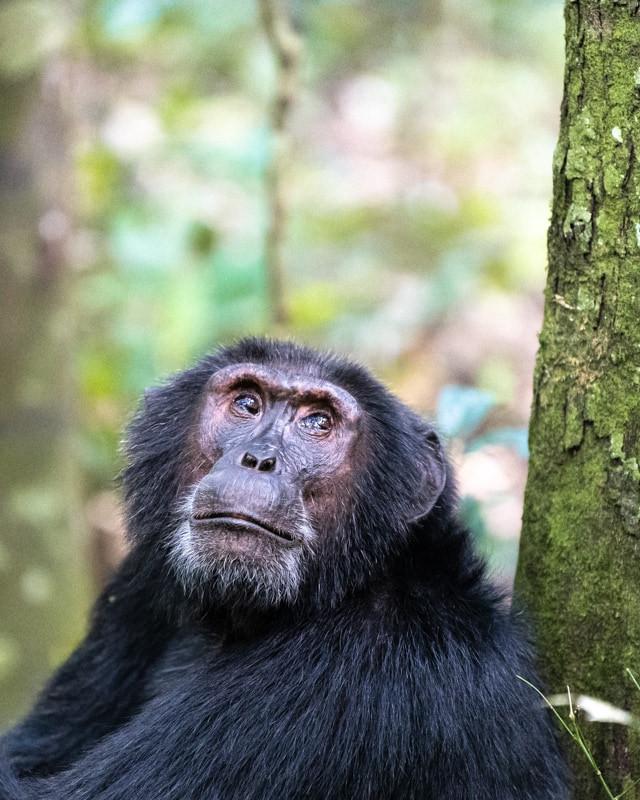 chimpanzee_1.jpg