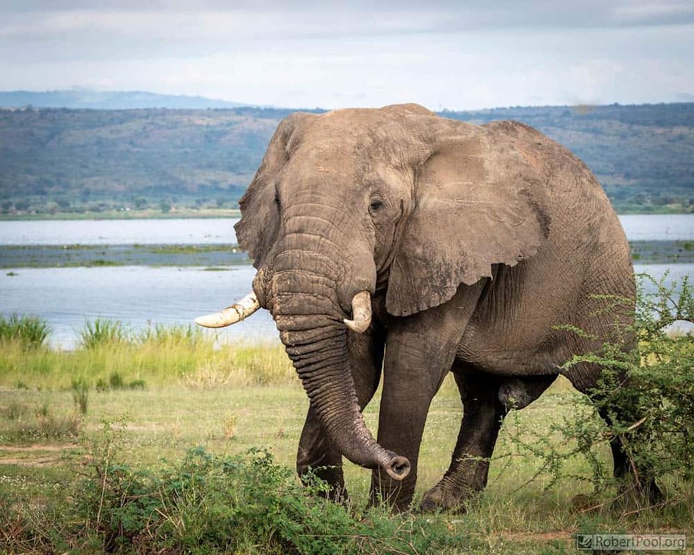 Bull elephant in Murchison Falls National Park, Uganda