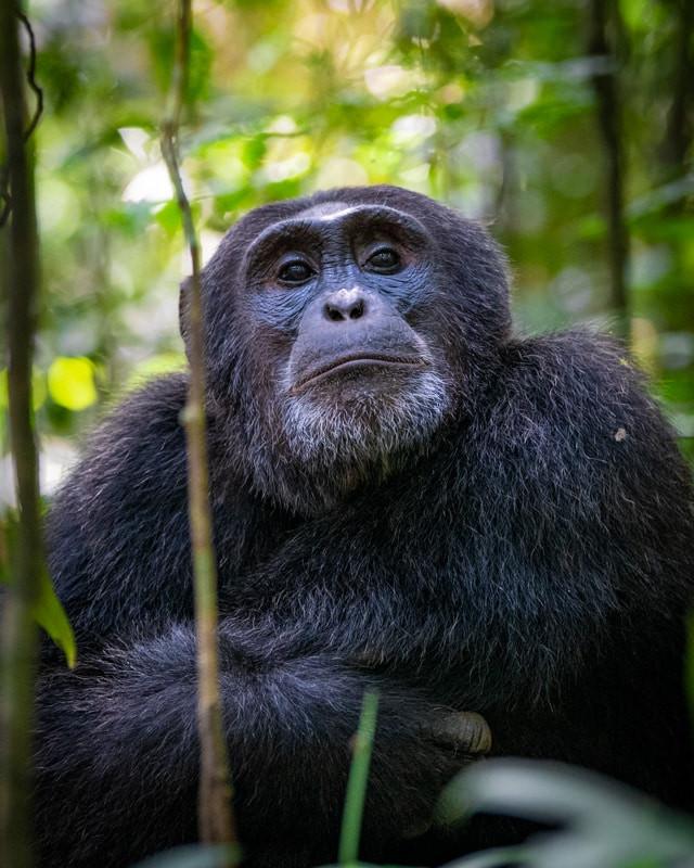chimpanzee_2.jpg