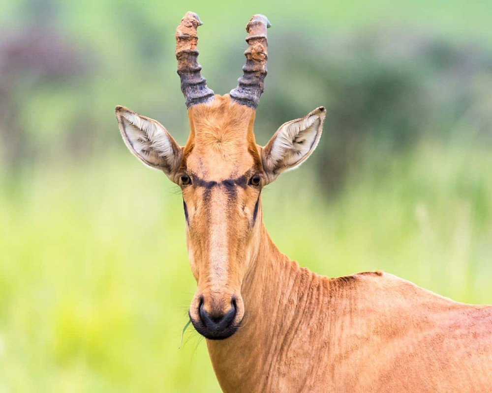 Hartebeest are great for wildlife portrait photography