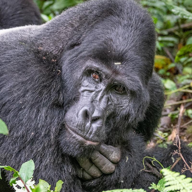 silverback_gorilla.jpg