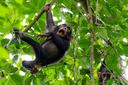 baby_chimpanzee.jpg