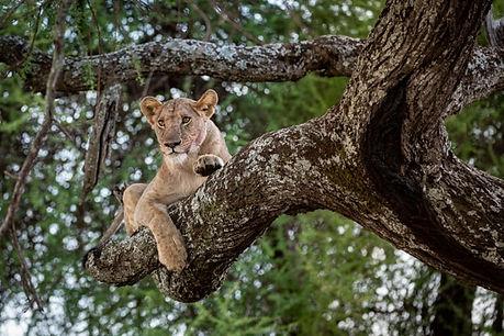 tree_climbing_lion.jpg