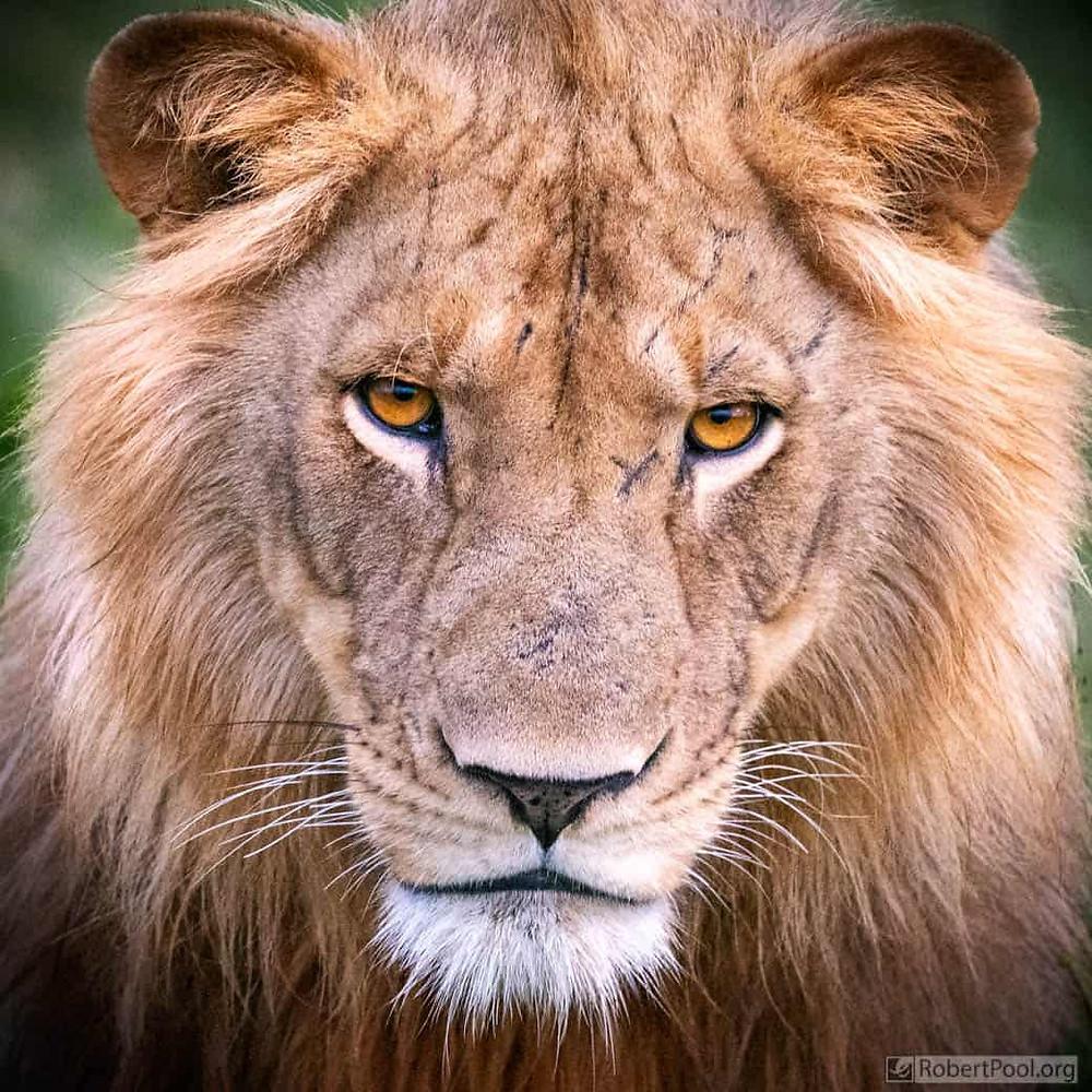 wildlife portrait: male lion