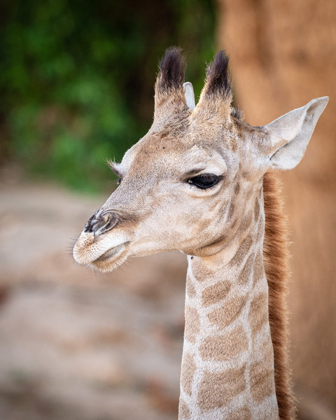 giraffe young2.jpg