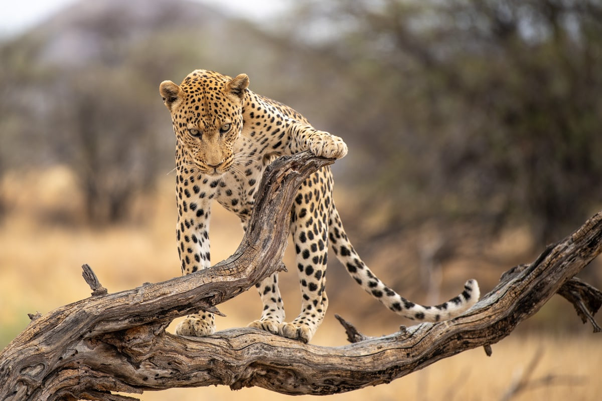 leopard_2.jpg