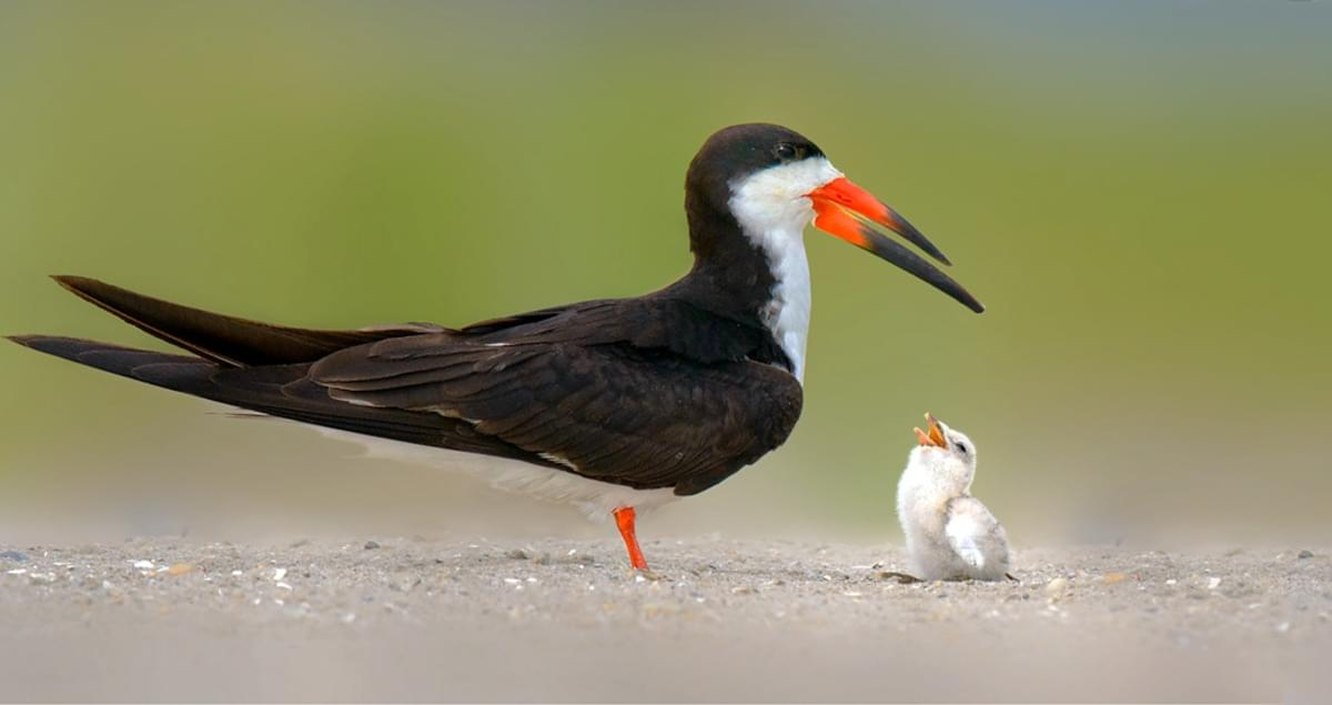 Black skimmer and newborn