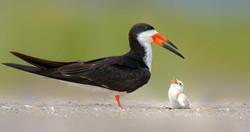 Black skimmer and newborn