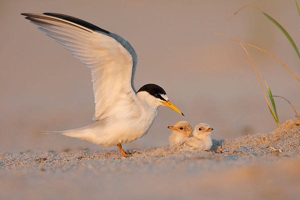 web_6606_1_least-tern_kenton_gomez_breed