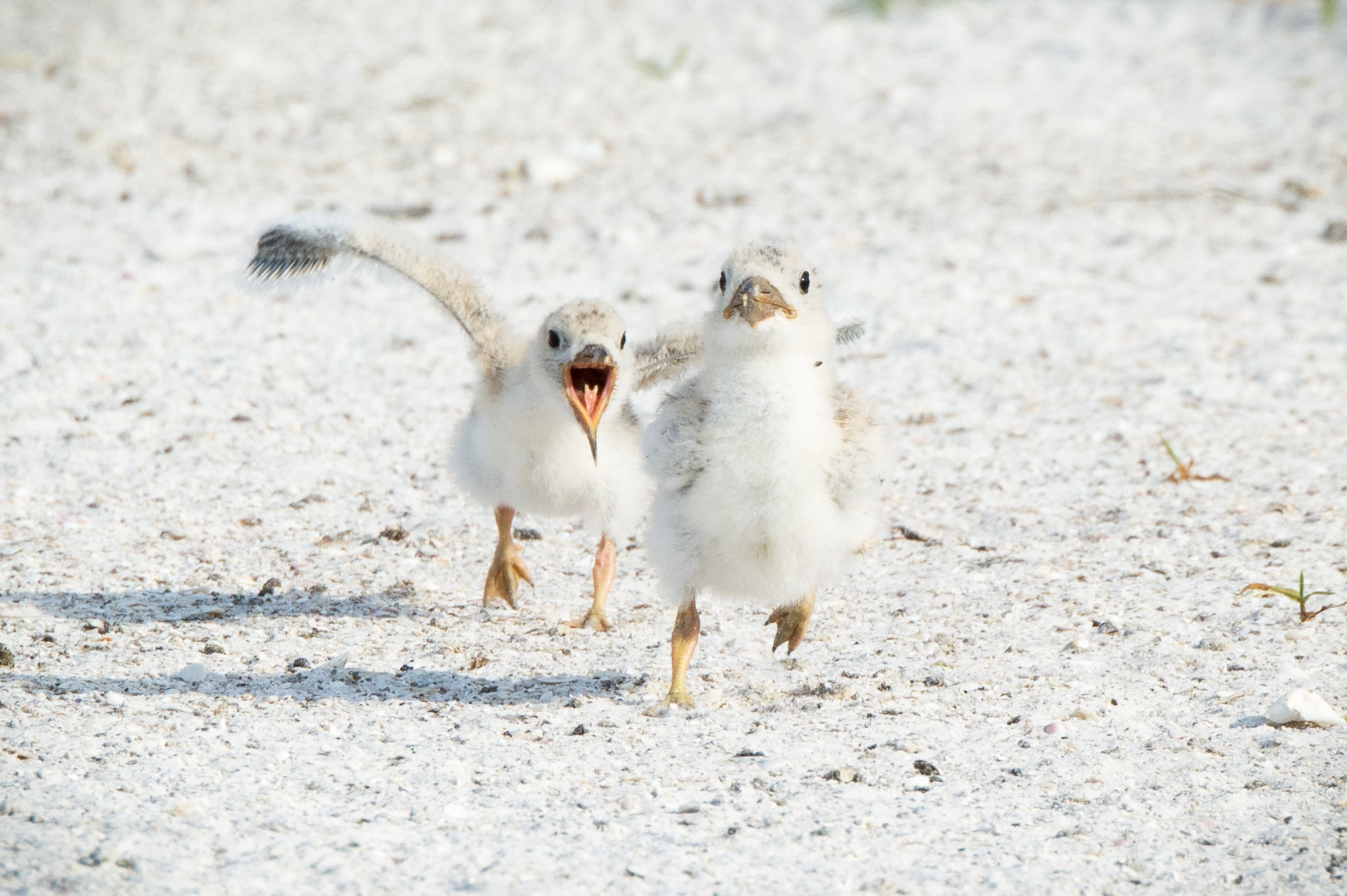 Royal tern chicks