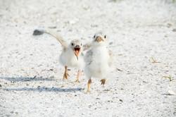 Royal tern chicks