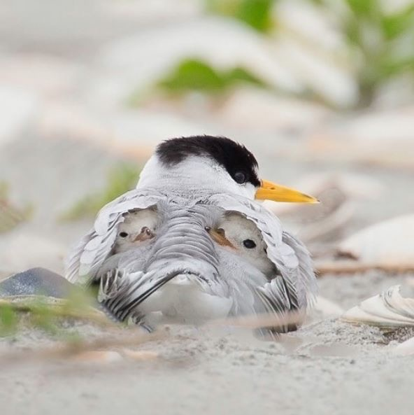 Least tern and newborns