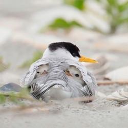 Least tern and newborns