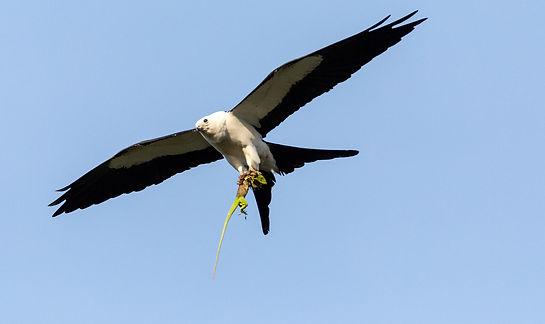 swallow-tailed-kite_006_istock_959030982
