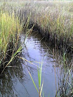 saltmarsh-topminnow-tidal-creek.jpg