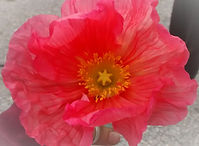 star poppy_edited.jpg