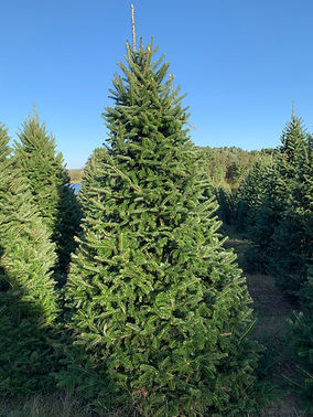 Canaan Fir Christmas Tree at The Farms at Pine Tree Barn