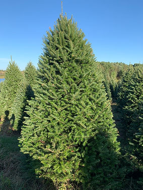 Fraser Fir Christmas Tree at The Farms at Pine Tree Barn