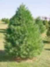 White Pine Christmas Tree at The Farms at Pine Tree Barn
