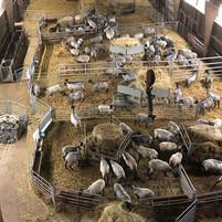 Nu har vi titta på fåren med ultraljud f