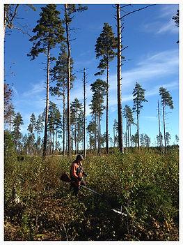Röja i skogen Wästanå