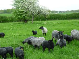 Fåren och lammen trivs tillsammans i hagen.
