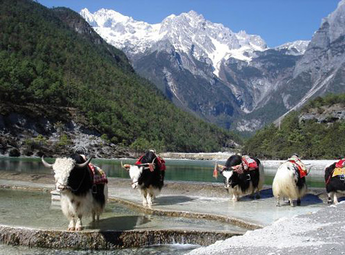 Yaks roam in the Shangrila