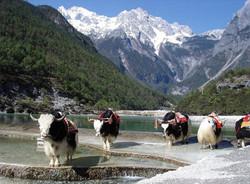 Yaks roam in the Shangrila