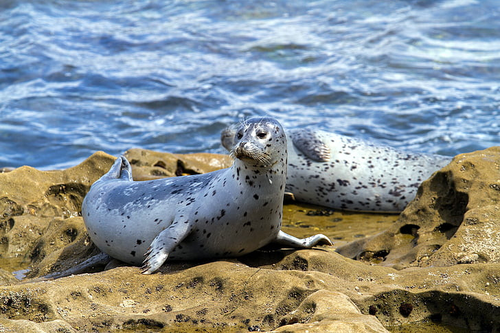 An image of two grey spotted seals sitting on a rocky beach. The ocean can be seen close behind them, and one seal looks off to the left of the camera whilst the other is covered by their head.