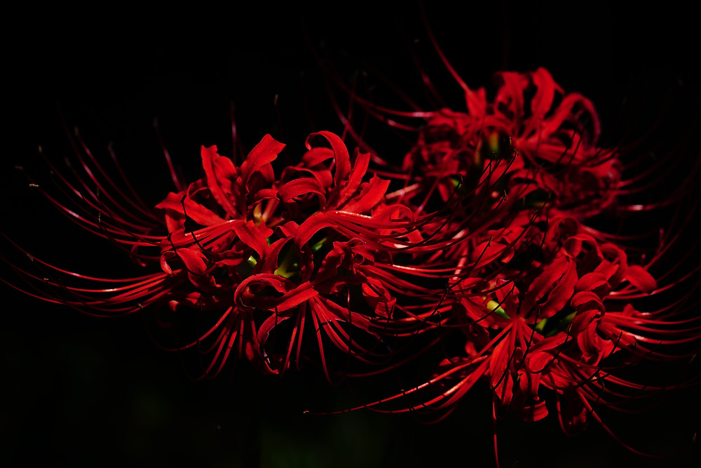 An image of red spider lilies, superimposed on a black background.