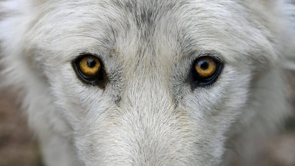A closeup image of a white wolf, its yellow eyes staring directly at the viewer.