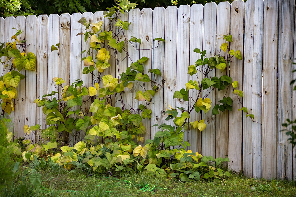 An image of a fence, vines climbing up it and worming through its cracks.