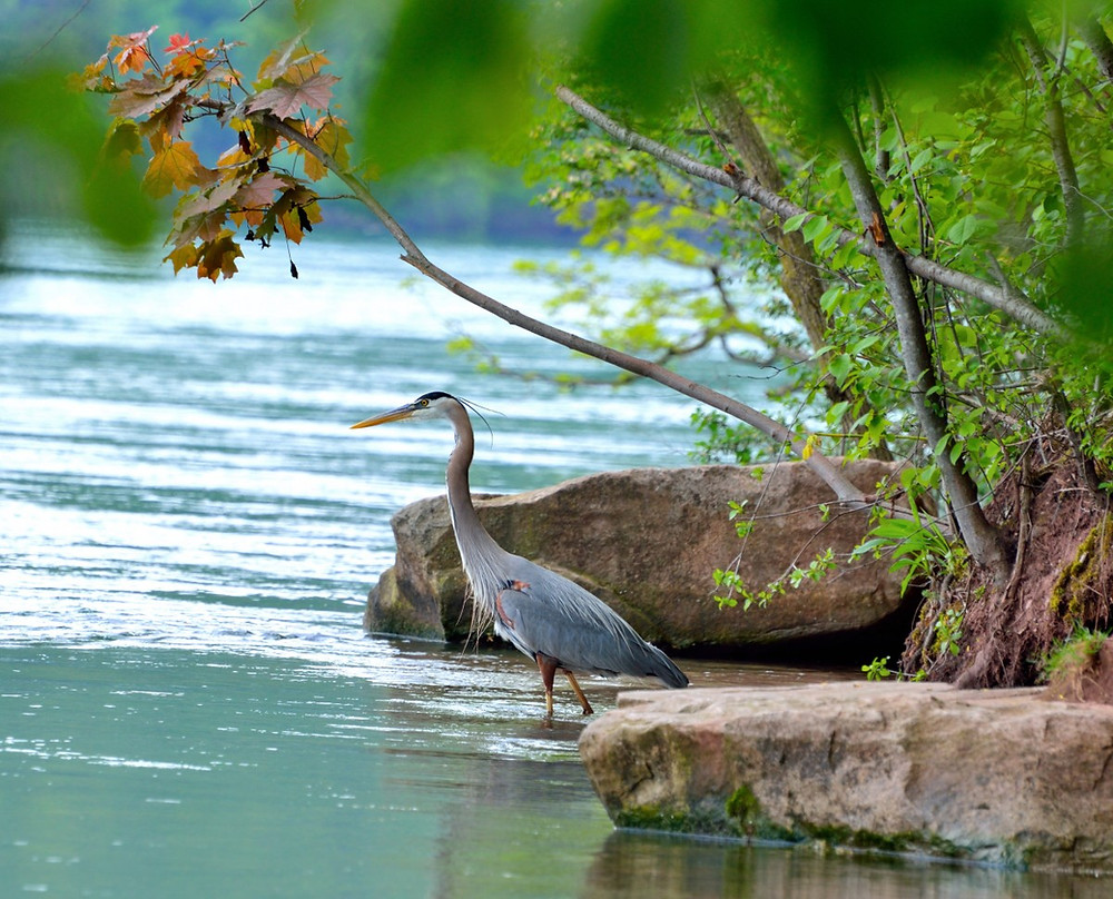An image of a heron, wading into the shallows of a river. Large rocks and tree branches frame the heron.