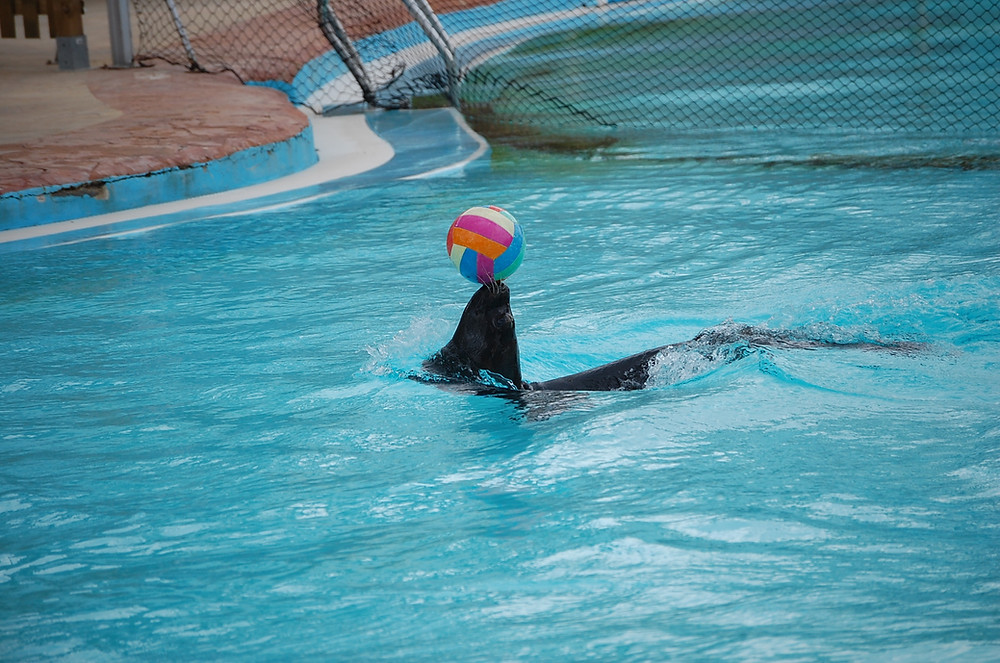 An image of a sea lion within a bright blue zoo pool. It carefully balances a multi-colored volleyball upon its nose.
