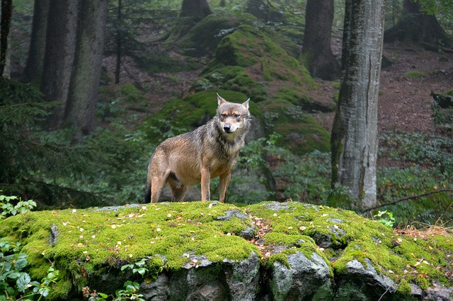 An image of a wolf, standing alone on a mossy outcropping. It looks slightly to the left of the viewer, and is framed by tree trunks in the background.